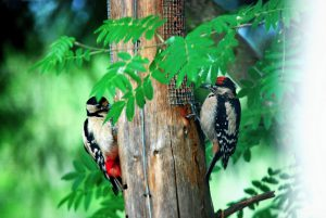 Great-Spotted-Woodpeckers-from-The-Cottage-window