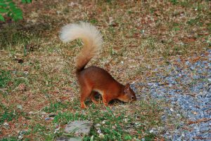 Red-Squirrel-at-The-Cottage-2