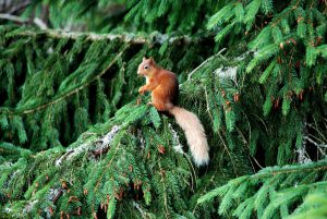 Red-Squirrel-at-The-Cottage