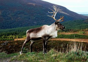 Reindeer-with-Meall-a-Bhuachaille-in-the-background