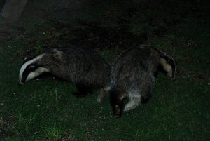 Resident-Badgers-at-The-Cottage