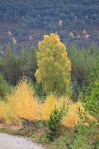 Autumn-Birch-Inshriach